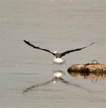 Black-browed Albatross  - Peter Hunker