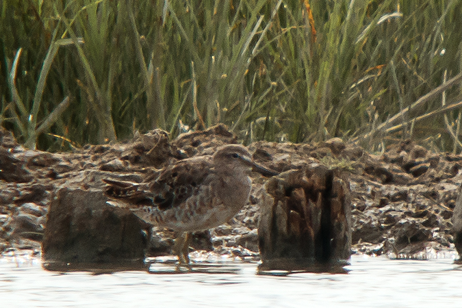 Long-billed Dowitcher  - Karin & Fredy Stange