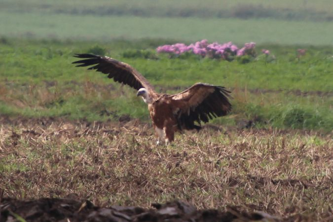 Griffon Vulture  - Benjamin Mayer