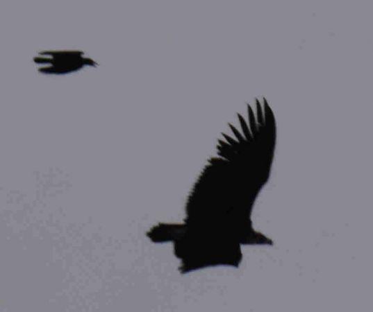 Eurasian Black Vulture  - Martin Schorr