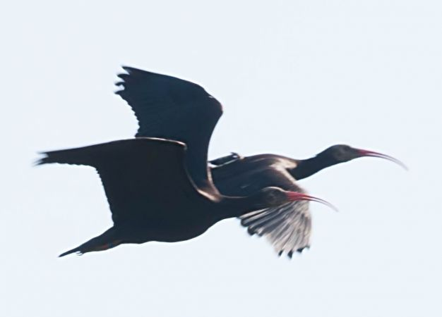 Northern Bald Ibis  - Thomas Goelzer