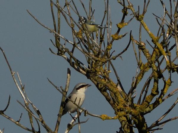Great Grey Shrike  - Stefan Rathgeber