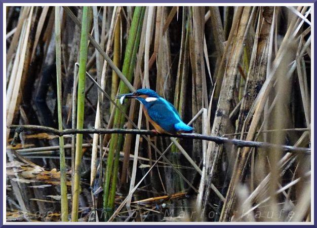 Common Kingfisher  - Marion Haufe