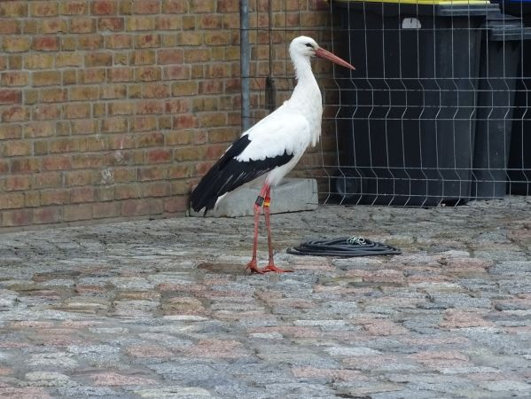 White Stork  - Anonymous