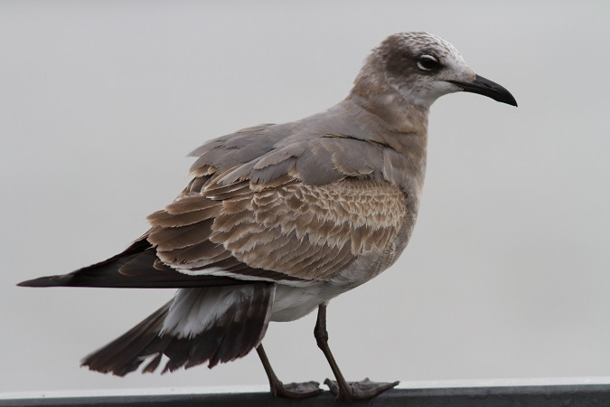 Laughing Gull  - Marcel Tenhaeff
