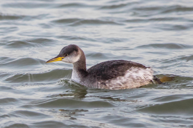 Red-necked Grebe  - Horst Habke