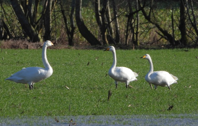 Whooper Swan  - Alfons Krietenbrink