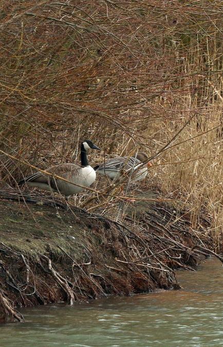 Canada Goose  - Ulrich Seelaff