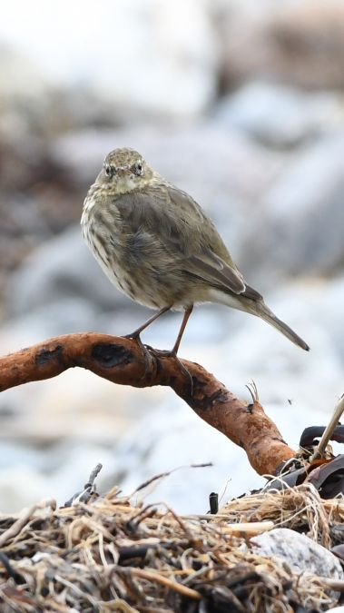 Rock Pipit  - Ulf Evert
