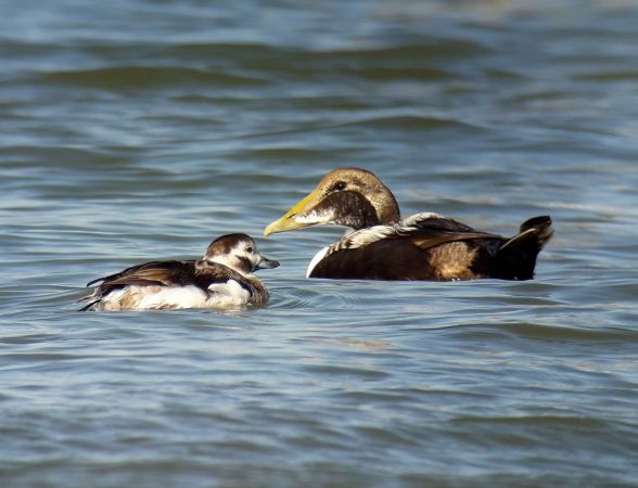 Long-tailed Duck  - Friedemann Arndt