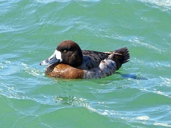 Tufted Duck  - Hans Wirth