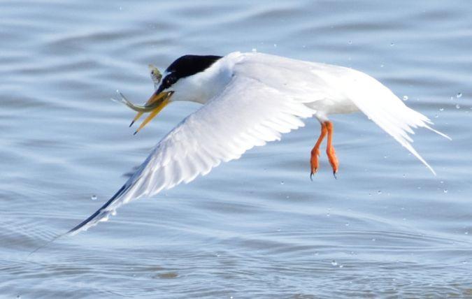 Little Tern  - Florian Teige