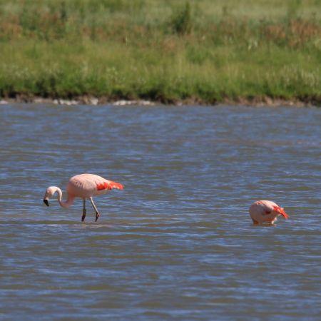 Chilean Flamingo  - Ralf Ehben