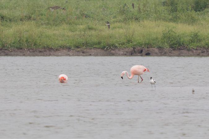 Chilean Flamingo  - Matthias Kahrs