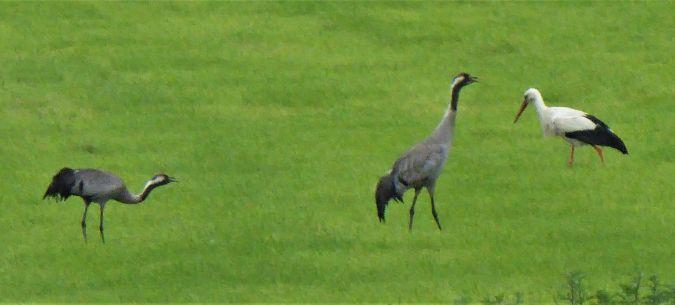 Common Crane  - Hartmut Ralf