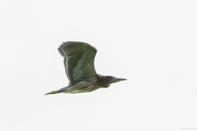 Black-crowned Night Heron  - Bernd Kunrath