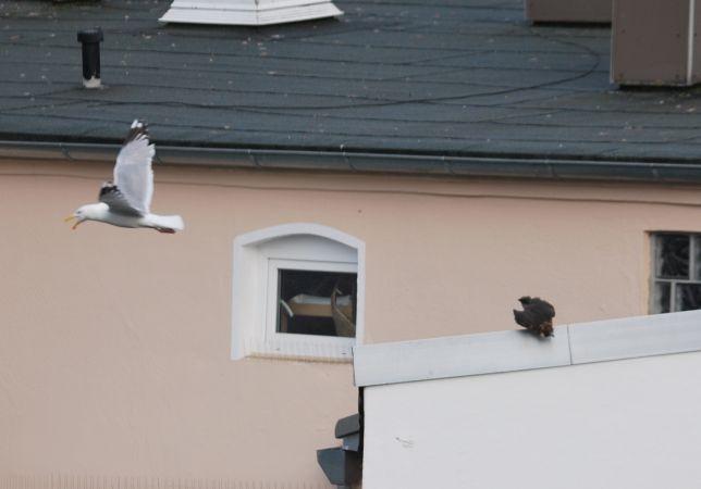 Peregrine Falcon  - Ulrich Holst