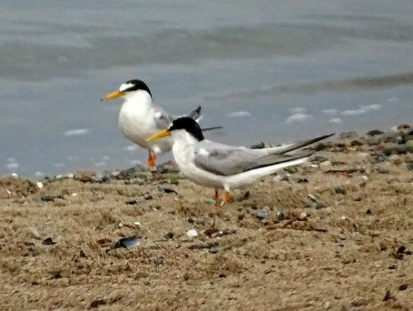 Little Tern  - Hans Wirth