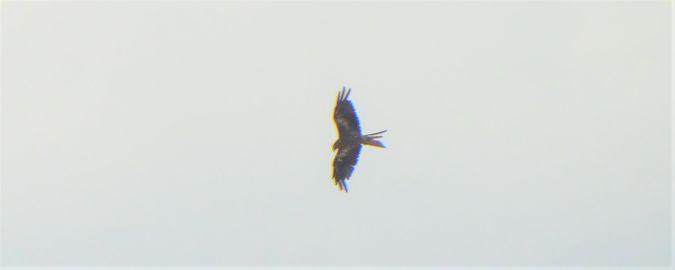 Red Kite  - Hartmut Ralf