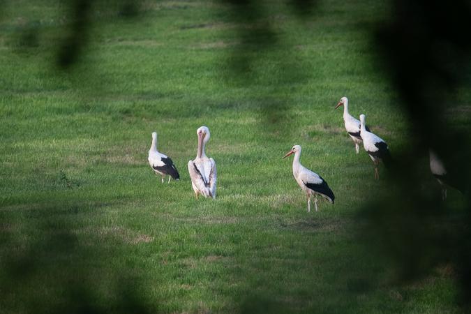 Great White Pelican  - Johannes Martin
