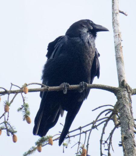Northern Raven  - Werner und Margret Schumann