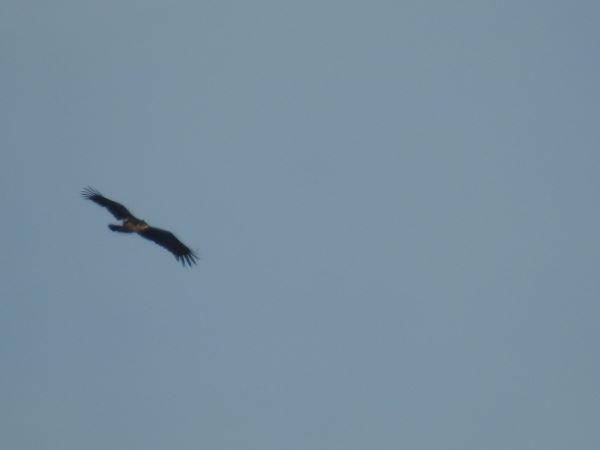 Greater Spotted Eagle  - Paul Baumann