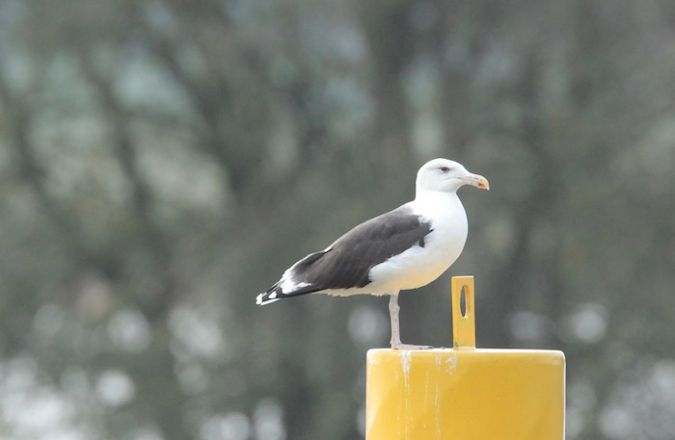 Great Black-backed Gull  - Hans-Werner Ullrich