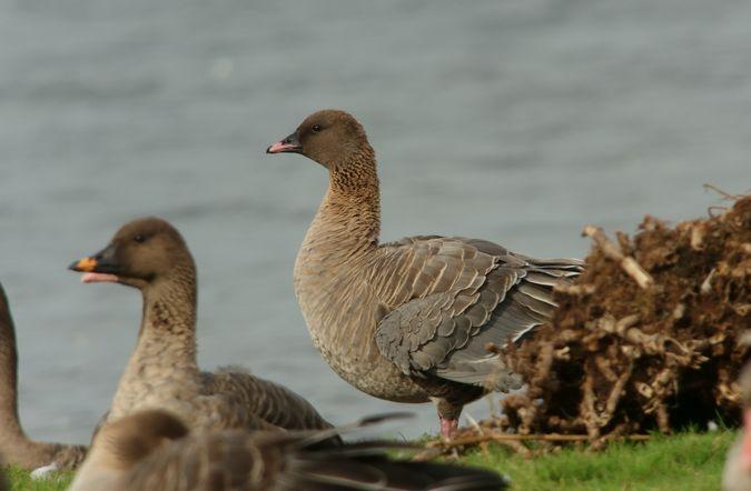 Pink-footed Goose  - Benno Moreth