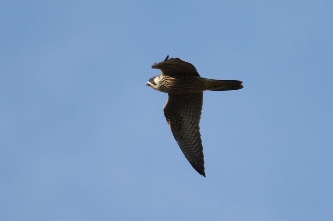 Peregrine Falcon  - Robert Przybylski