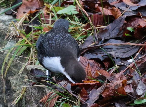 White-throated Dipper (ssp. cinclus)  - Klaus Ewald