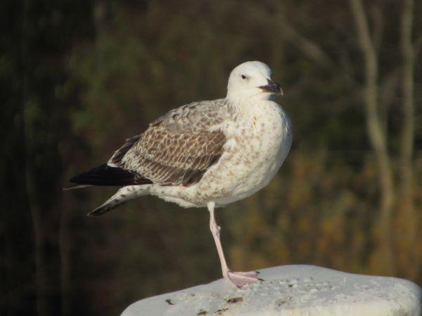Caspian Gull  - Wolfgang Buchheim