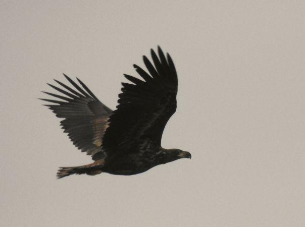 White-tailed Eagle  - Frank Schubert