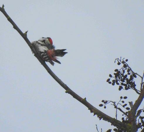 Middle Spotted Woodpecker  - Helge Schmidt