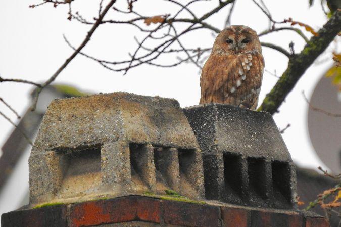 Tawny Owl  - Haiko Taudien