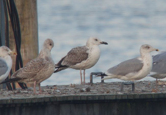 Caspian Gull  - Benno Moreth