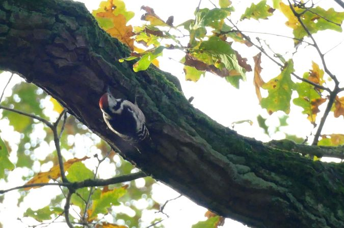 Middle Spotted Woodpecker  - Meinhard Bockmann
