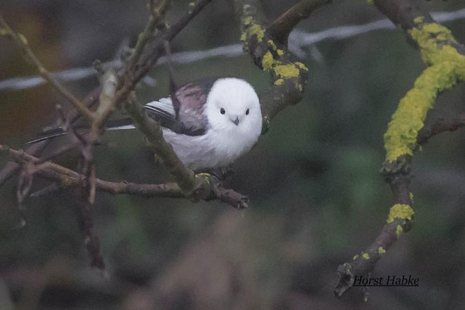White-headed Long-tailed Tit  - Horst Habke