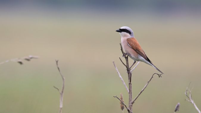 Red-backed Shrike  - Marc Török