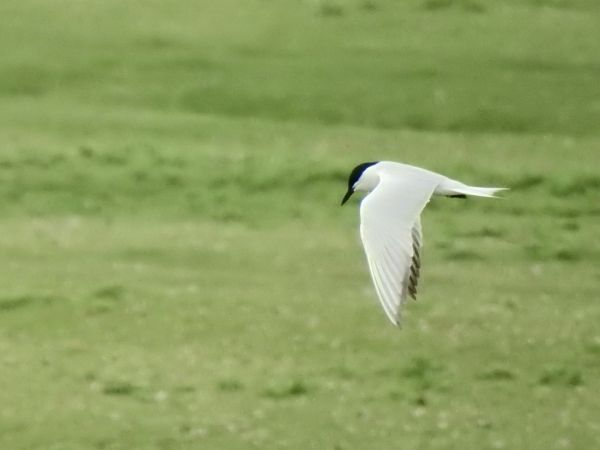 Gull-billed Tern  - Hannes Schäfer