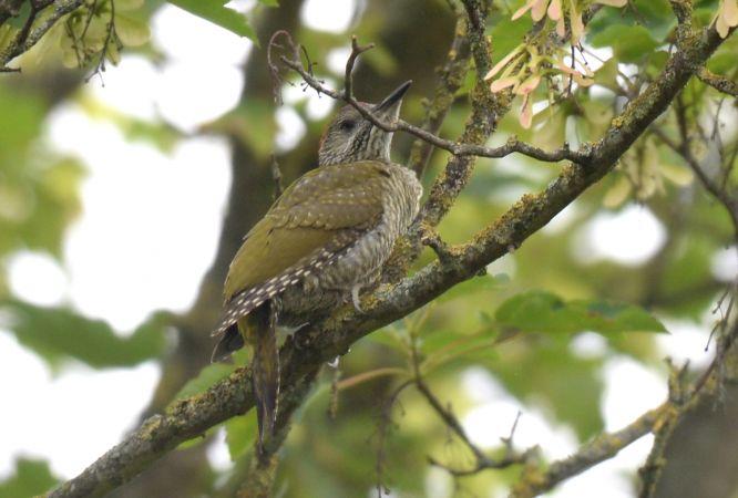 European Green Woodpecker  - Franck Hollander