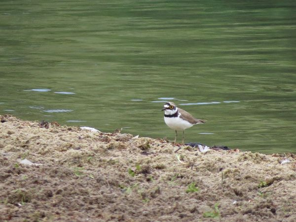 Little Ringed Plover  - Heiner Dierken