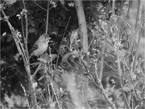 Common Rosefinch  - Frank Sudendey
