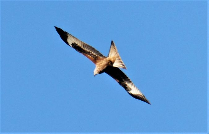 Red Kite  - Hartmut Ralf