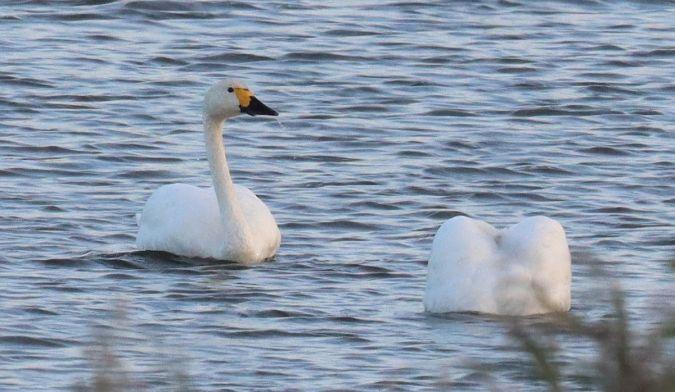 Bewick's Swan  - Hauke Roy