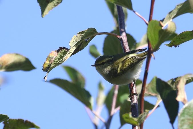 Pallas's Leaf Warbler  - Martin Kühn