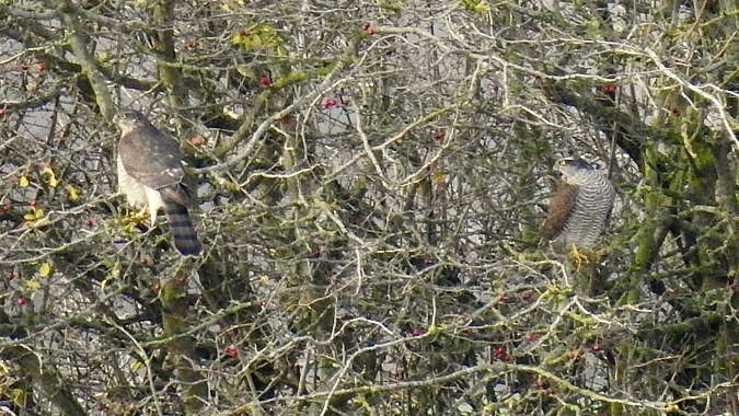 Eurasian Sparrowhawk  - Haiko Taudien