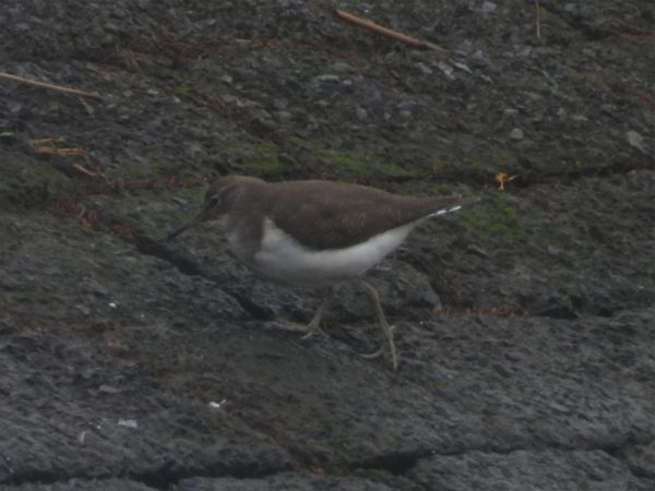 Common Sandpiper  - Kai Dallmann