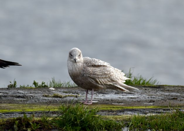 Iceland Gull  - Bernhard Deykowski