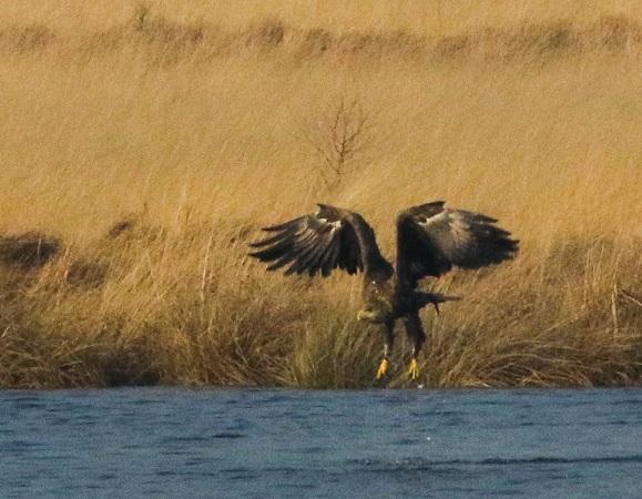 White-tailed Eagle  - Klaus Ewald