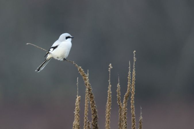 Great Grey Shrike  - Eckhard Steffen